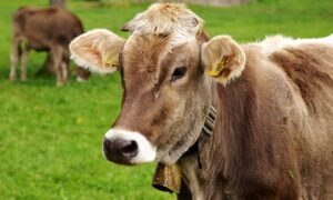 सपने में बहुत सारी गाय देखना, ( sapne me bahut sari gaay dekhna )